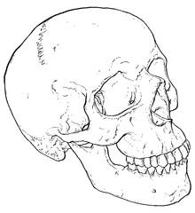 Anatomy Human Skull illustrated