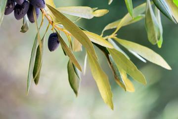 Olive background, Greece