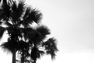 black and white palm tree Silhouette