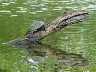 Turtles on wood in water