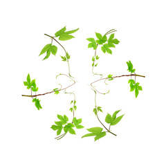 fresh green branches isolated on a white background