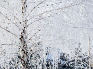 Frozen branches on a tree in the forest in winter