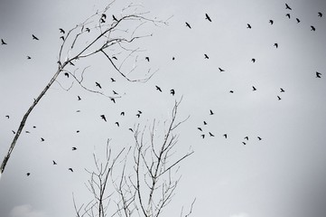 Bare trees on foggy sky and flock of flying birds. Black and white tones.