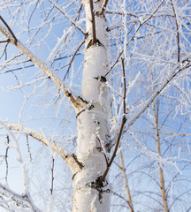 White bark on a birch tree as background