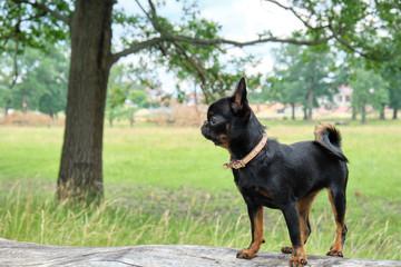 Petit Brabancon on green grass nature walk. Little black dog. Selective focus