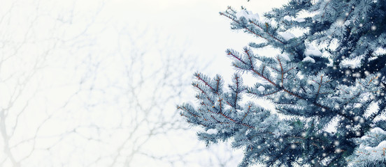 Frosty winter landscape in snowy forest. Pine branches covered with snow in cold winter weather. Christmas background with fir trees