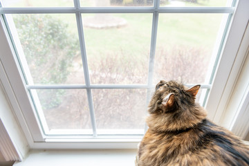 Closeup of large, fat female maine coon calico cat lying on chair inside, indoors, indoor, house, home room windowsill, sill, looking up, out, through window, staring outside, bird watching