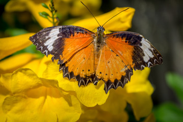 Cethosia cyane,  leopard lacewing butterfly foraging on a yellow flower