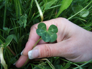An exceptional natural rarity - a five-leaf clover