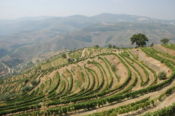 Douro river vineyards, terraces Portugal