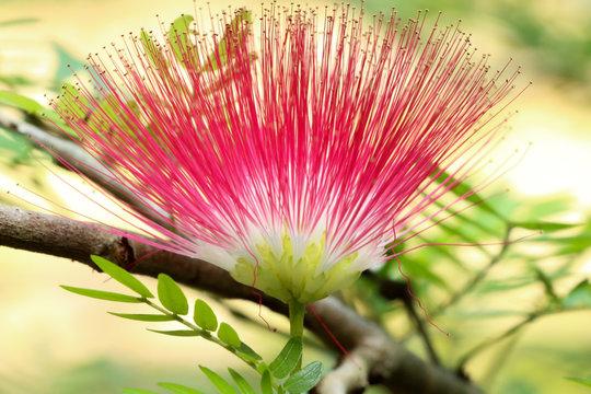 Pink red powder puff at garden