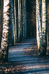 Landscape with idyllic Finnish birch forest on sunset