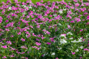Catharanthus roseus flower in nature