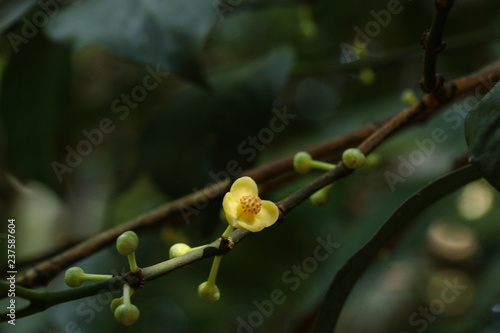 Gamboge tree herb in Thailand