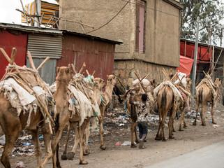A camel train moves through Harar, Ethiopia.