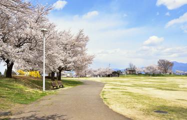 桜の花咲く公園