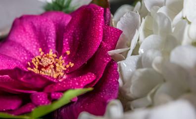 water on pink rose