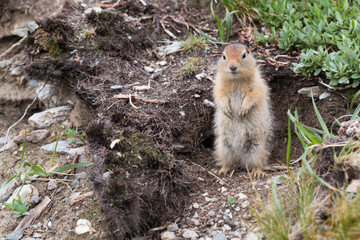 An arctic ground squirrel in Denali National Park and Preserve (Alaska).