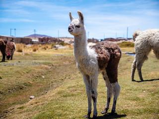 Baby Llama in Bolivia