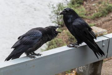 Wild raven in Denali National Park (Alaska)