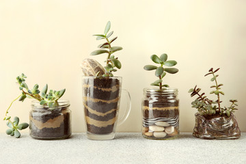 Succulent seedlings in glass jars isolated on white background.  Succulent houseplants, crassula ovata, commonly known as jade plant, friendship tree, lucky plant, money tree and sedum Blue Carpet cut