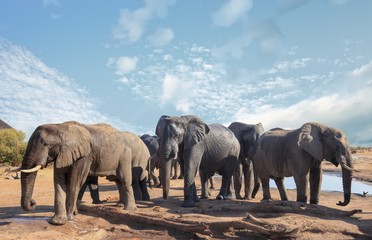 Herd of african elephants visiting the camp to relax and take a drink in the mid-day sun, with a pale blue clear sky, Nehimba, Hwange National Park, Zimbabwe
