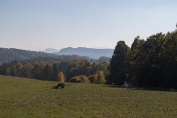 Kühe am Elbsandsteingebirge