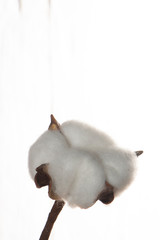 Cotton plant flower on white wooden background