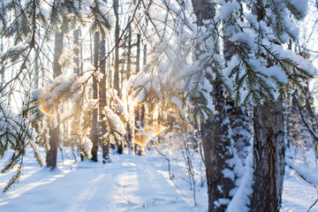 Close-up of fir branches with flakes of snow, with the dawn sun on the background. Christmas frosty morning. Winter landscape, Tranquil nature in sunlight in park