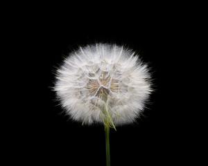 White dandelion isolated on black background