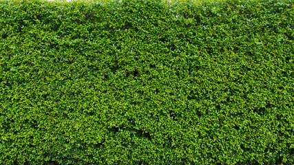 Green leaf  hedge for nature background and backdrop Wall mural