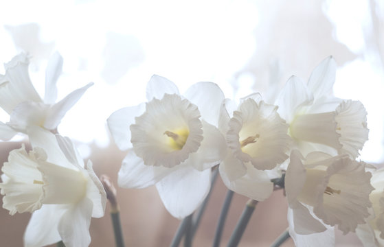 Close-up of bouquet of white daffodil flowers or Paperwhite, Narcissus or papyraceus