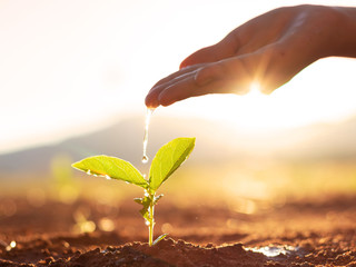 Obraz Hand nurturing and watering young baby plants growing in germination sequence on fertile soil at sunset background - fototapety do salonu