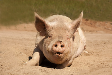 Large dirty pig laying facing forward on his stomach on the dirt as if he is talking