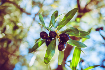 Olive tree. Ripe olives on a branch, bright sunlight.