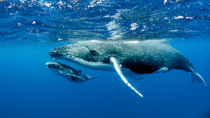 Foto op Aluminium Dolfijn Humpback Whale