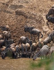 wildebeests and zebras migration