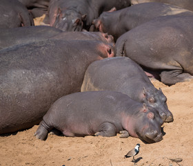 hippos resting on ground