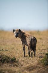 Photo sur Plexiglas Hyène spotted Hyena in the bush