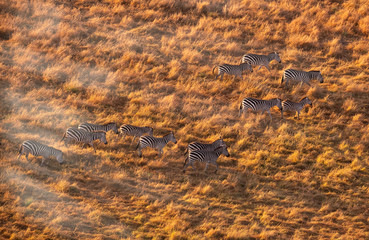 zebra from aerial view