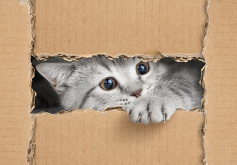 Cute little gray cat looking through cardboard hole