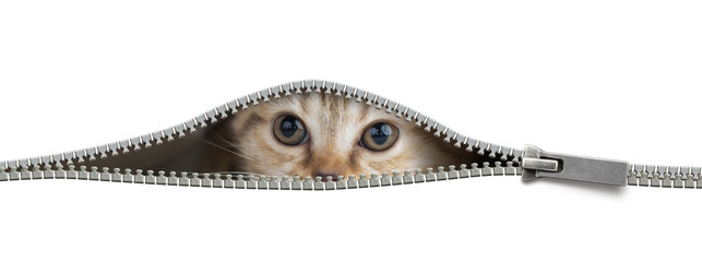 Papier Peint - Funny cat in open zipper hole isolated