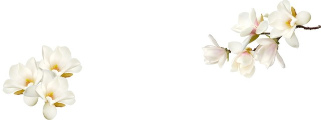 Wall Murals Magnolia Beautiful magnolia flower on white background.
