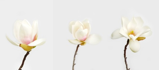 Beautiful magnolia flower on white background.