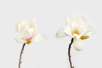 Beautiful magnolia flower on white background.