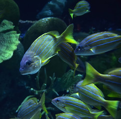Blue lined snapper fish / school of blue lined snapper swimming marine life underwater