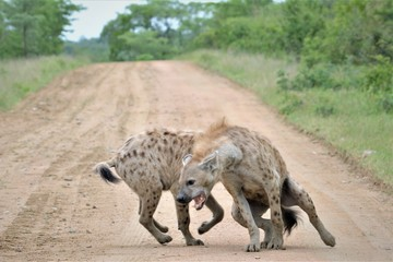 hyena in south africa playing