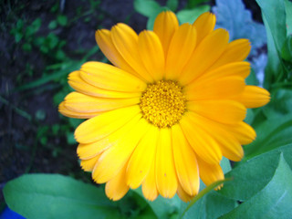 Close up of a yellow calendula flower surrounded by greenery.