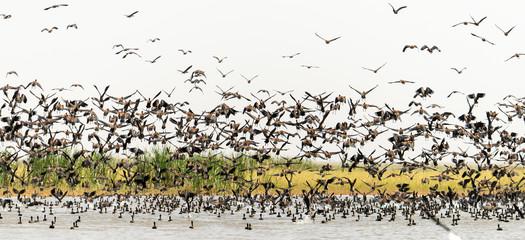 Dendrocygne veuf,.Dendrocygna viduata, White faced Whistling Duck