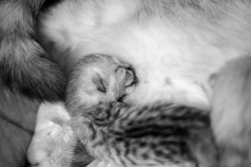 Cat with a little kitty. Beautiful moments of motherhood. British cat with a kitten.